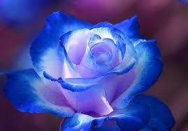 sinine roos