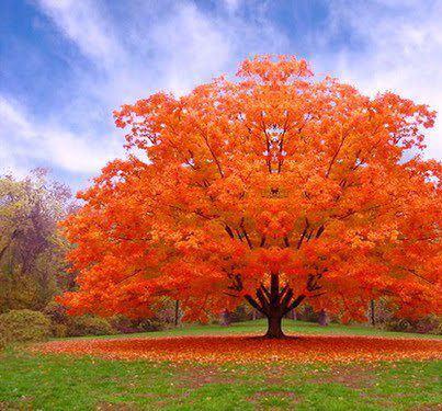 Oranz puu